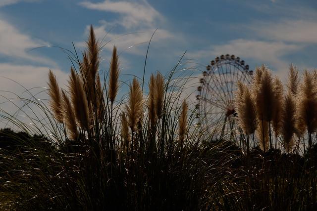 Photo:Pampas grass By t.kunikuni