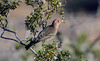 House Finch on  Creosote