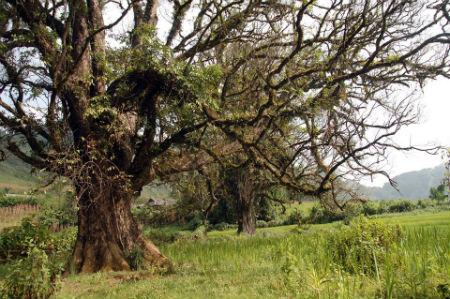 Hồn ma đôi trai gái ẩn trong hai cây Thiêng