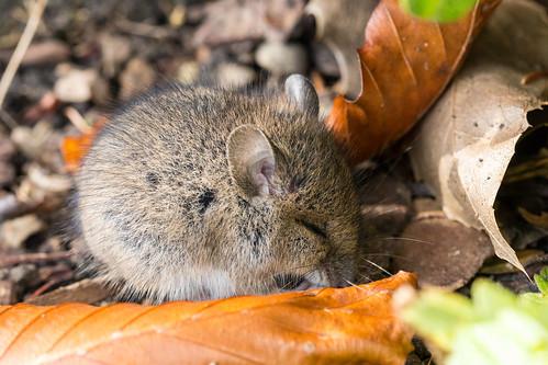Да вот приснилось, много потравленных мышек.