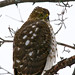 Coopers Hawk by Papa Al2