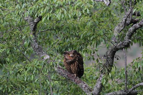 有勝溪的母鴞勝姊。(攝影:楊川懷;圖片來源:雪霸國家公園)