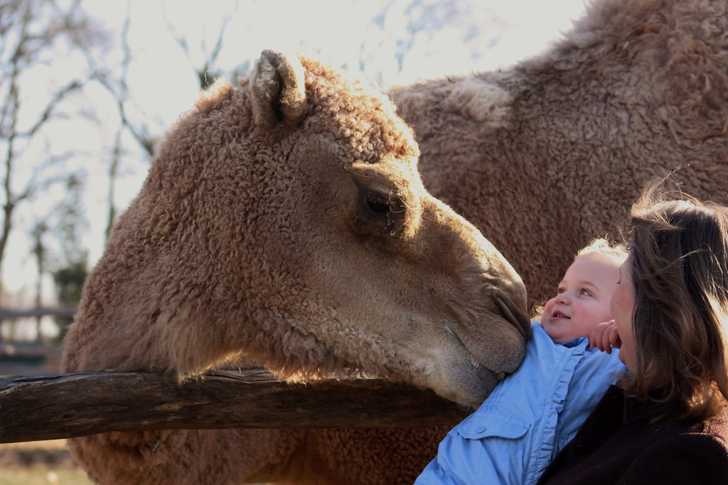 Camel Alladin with Baby