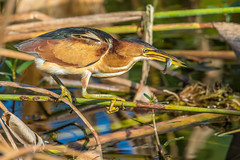 Least Bittern Catching Breakfast, Wakodahatchee