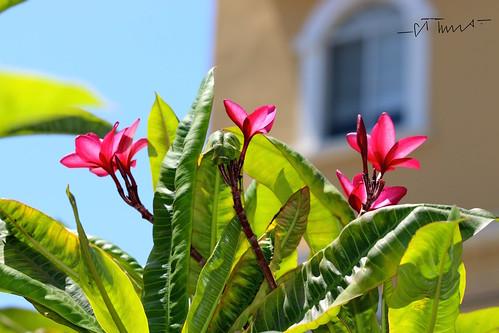 Adelfa, Nerium Oleander, Lirio