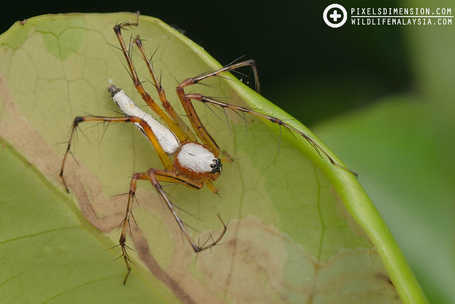 White Lynx Spider- Oxyopes cf. shweta ♀