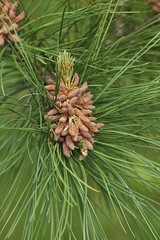 larch, evergreen, flower, pine, leaf, tree, flora, conifer cone, fir, spruce,