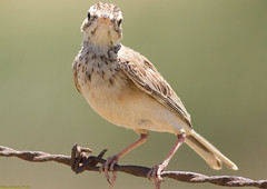 animal, ortolan bunting, fauna, finch, close-up, beak, bird, lark,