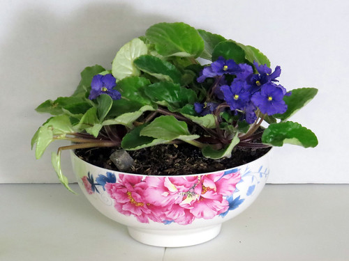 African Violets in a Ceramic Bolwl with SIP plumbing
