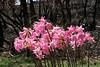 Naked Ladies - Amaryllis belladonna_5687