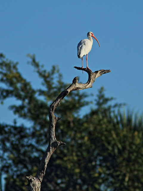 White ibis on snag 20150212