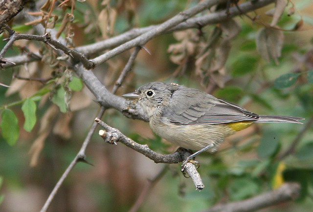 Virginia's Warbler Small 20d
