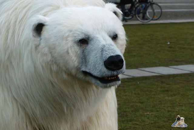 Eisbär, Polar Bear Ralph, Fortitude Berlin 12.02.20156