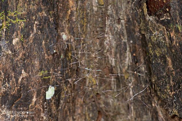 Mass mating crane flies (Tipulidae) - DSC_4016