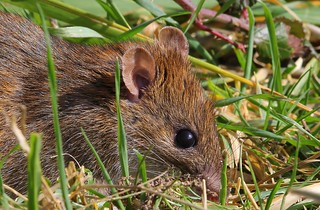Brown Rat - 240215