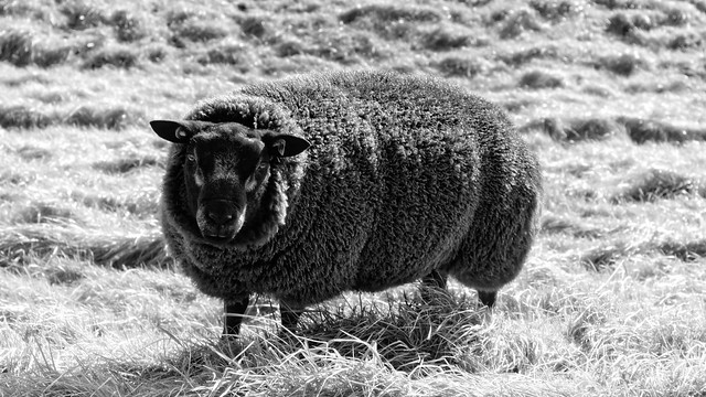 Agrusoft Webdesign Photopage - They Say I'm The Black Sheep, But I'm Not Realy