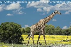 Angolan giraffe Giraffa camelopardalis angolensis