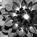 Fleur du Jour by Photoz Darkly