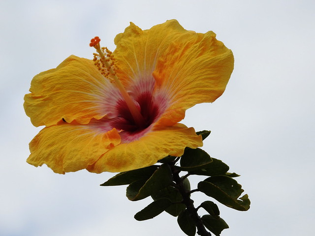 Hibiscus so beautiful