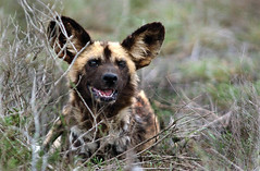 jackal(0.0), wolfdog(0.0), dhole(0.0), saarloos wolfdog(0.0), dog breed(1.0), animal(1.0), mammal(1.0), hyena(1.0), fauna(1.0), lycaon pictus(1.0), wildlife(1.0),
