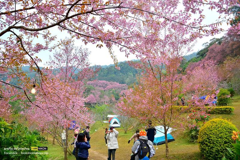 Chiang mai Angkhang sakura trees photographers
