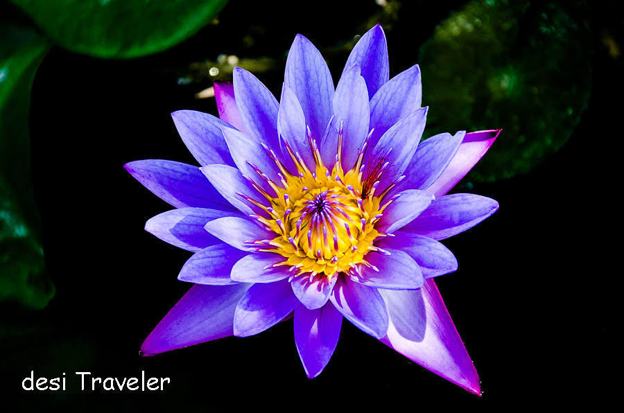 Blue lotus in lily pond at Pushkar Resorts