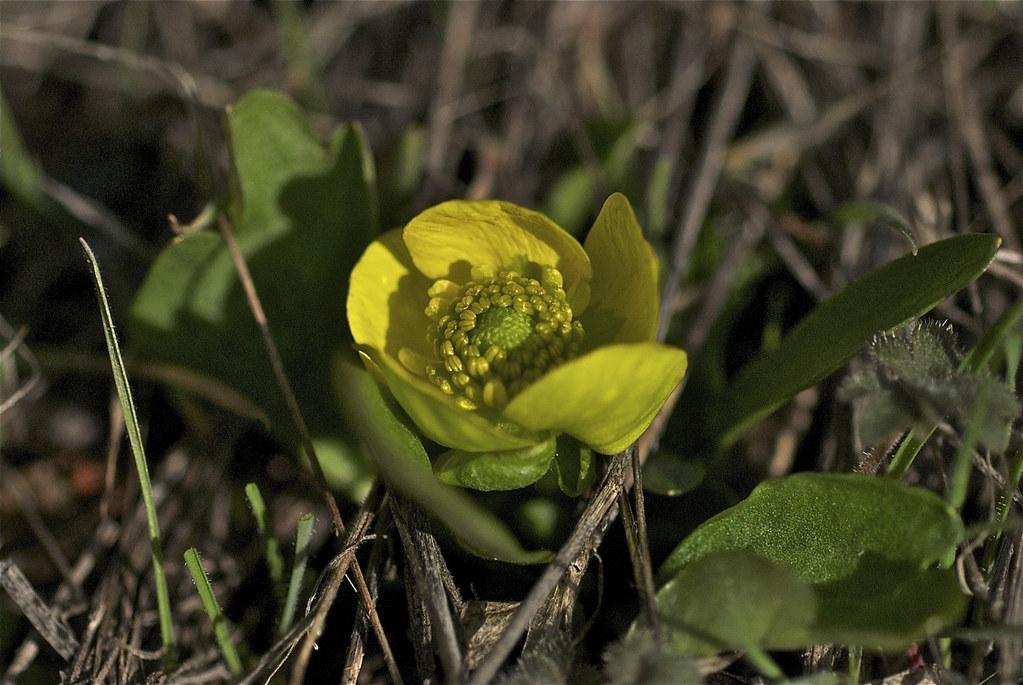 Sagebrush buttercup ~ Ranunculus glaberrimus