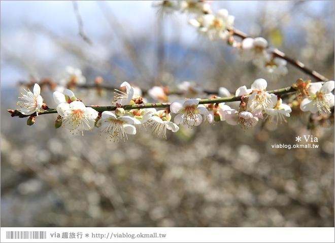 【柳家梅園】大人氣的賞梅景點!牛稠坑「柳家梅園」新私房賞梅步道7
