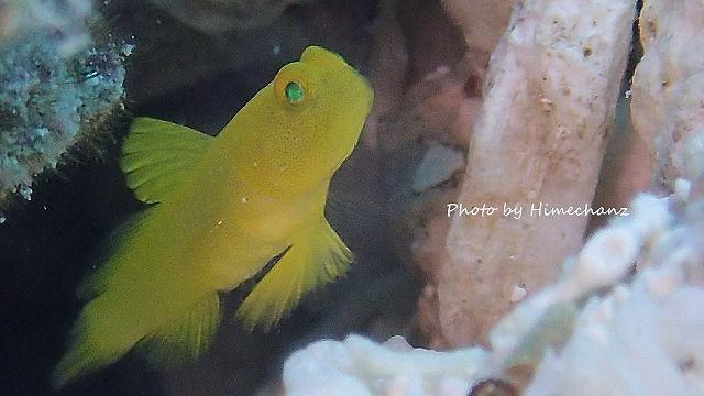 ギンガハゼ幼魚ちゃん♪