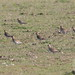 Tarambola dourada - Pluvialis apricaria - Golden Plover