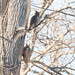 Great Horned Owls by devb.