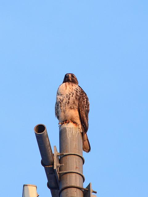 Uptown Hawk - 5371