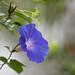 Blue Flower by yago1.com