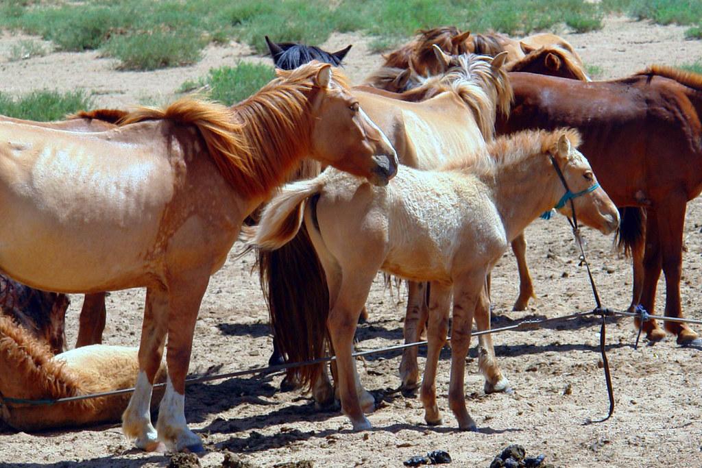 Caballos Mongoles El infierno de cruzar el desierto de Gobi - 16538397978 b4576bd926 b - El infierno de cruzar el desierto de Gobi