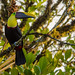 Chestnut-mandibled Toucan. Tim Melling.