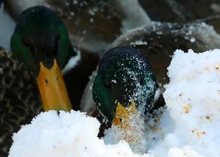 Canards colvert en hiver, Mallards
