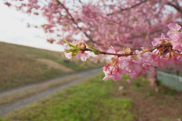 150303美和桜 106