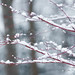 Snow on the Japanese Maple in Maryland
