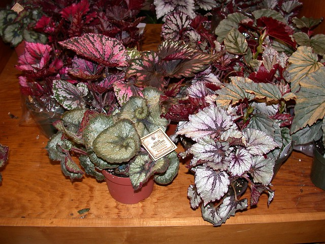 Begonias for sale