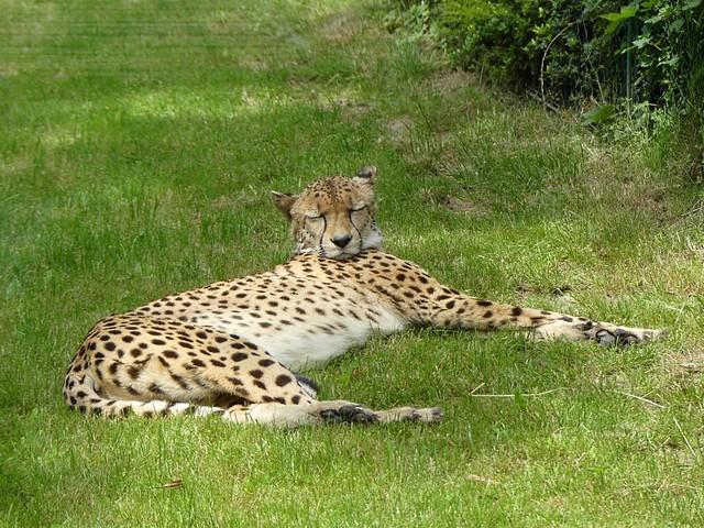 Gepard, Opel-Zoo