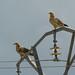 Alimoche común / Egyptian vulture / Neophron percnopterus