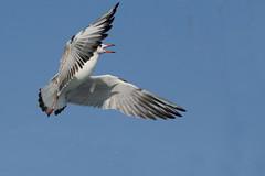 Sea-gull .... Bhuj .Gujrat