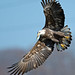 American Bald Eagle with small Fish