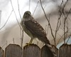 Sharp-shinned Hawk on the Fence (explored)