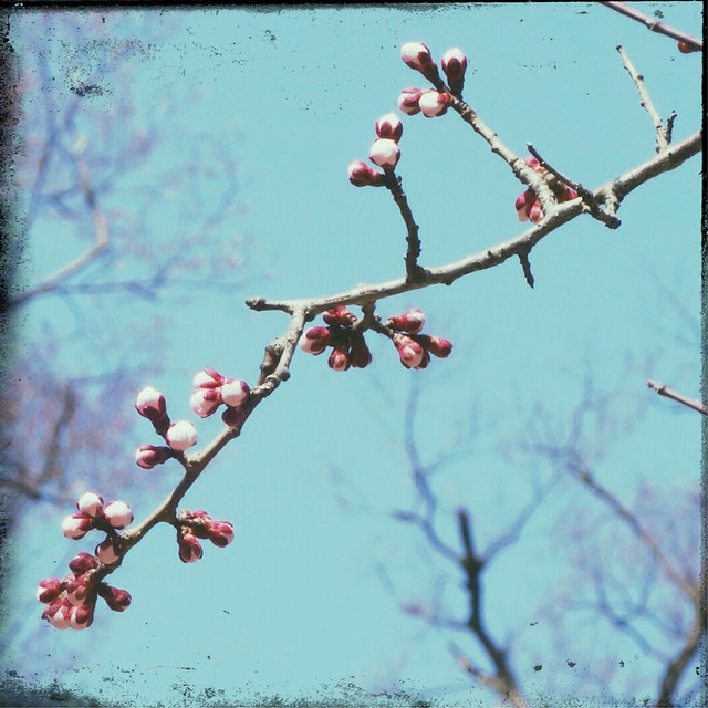 Plum blossom bud