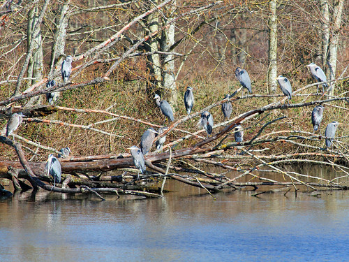 2015 Mar 02 Rookery of Great Blue Herons 9731