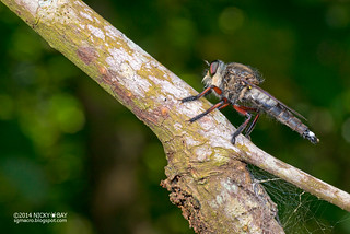 Robberfly (Asilidae) - DSC_3933