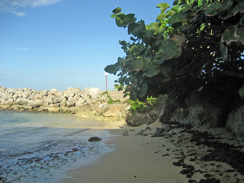 Sea Grape tree shade St. Mary, Jamaica coast