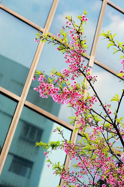 2015隨拍櫻花 (7)