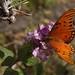 Gulf Fritillary Butterfly In My Garden 2015 - 06